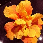 This hibiscus, with double orange flowers, was growing in Alicante, Spain. Photo November 2014.