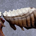 Molar teeth of an African elephant. On the right is a complete tooth and on the left the back part of the preceding tooth. In the living animal the complete tooth would move slowly forward (ie. to the left in the picture) and eventually push out the remains of the tooth in front. During the life of the elephant, six sets of four teeth are produced. Note the ridges on the tooth's 'working' surface that can grind woody plant material.