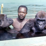 Augustine joins the gorillas in the water. 1971.