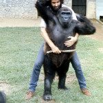 Imade was now too big and heavy to lift but there was nevertheless much physical contact which the gorillas seemed to enjoy and often initiate, even if it was in boisterous play. 1972.