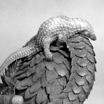 Same white bellied pangolin and young. In the wild pangolins live exclusively on ants or termites which they collect using the long, sticky tongue. The white bellied pangolin is a forest species and it uses its prehensile tail when climbing trees. December 1970.