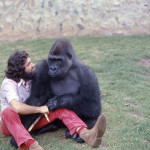 Aruna began to develop some of the physical features of an adult male gorillas. 1973.