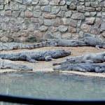 Mostly Nile crocodiles (Crocodylus niloticus) in their new enclosure. There is also a narrow-snouted crocodile (Crocodylus cataphractus), second back from the pool on the right. (THE REPTILE HOUSE STORY CONTINUES ON PAGE 4)