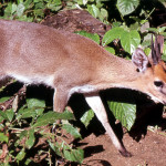 Male crowned or common duiker (Sylvicapra grimmia). Zological Garden, University of Ibadan, 1966.