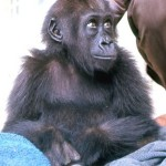 This young female western lowland gorilla, together with a male, was brought illegally into Nigeria from Cameroon. They were offered for sale to the University of Ibadan Zoological Garden and arrived there (see above) on 18 December 1964.