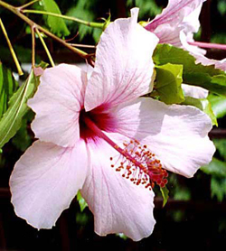 Hibiscus Cultivation Animals Africa And Other Secrets