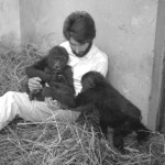 One of the first problems to address was that, due to previous harsh treatment from their captors, both gorillas disliked being handled and were generally very nervous. They bit me and some of the zoo keepers whenever they felt threatened. We therefore spent much time with the animals, quietly trying to gain their confidence and trust. Late December 1964.