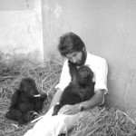 Another urgent need was to devise a diet that the gorillas would accept and which would provide for their return to good health and subsequent healthy development. The Veterinary Department of the University of Ibadan worked closely with us at that time - our thanks to Professor Desmond Hill. Late December 1964.